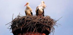 servicio-eliminar-nido-cigüeña-los-deshollinadores